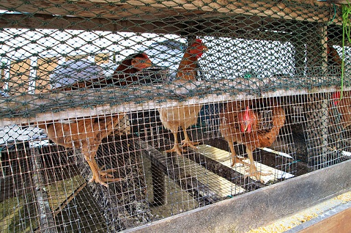 cramped chicken coop